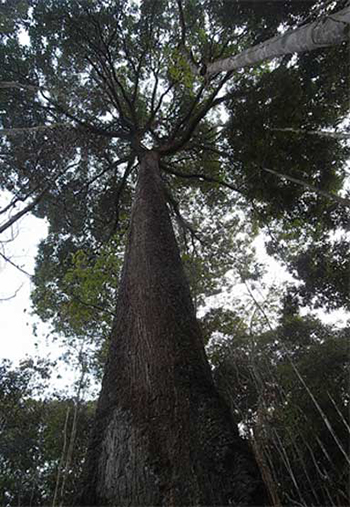 Brazil nut tree. Photo: Raquel Rodrigues dos Santos